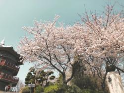 Korea Update, 3/31/18: Cherry Blossoms, boiiiii.